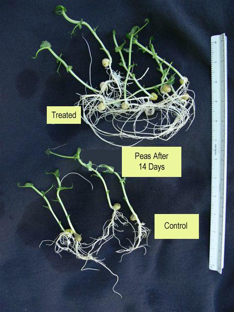 Pea-roots---Humax